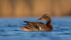 Mallard - Anas platyrhynchos - female royalty free stock images