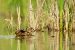 Mallard (Anas platyrhynchos). Female Mallard (Anas platyrhynchos) swimming in a pond in Frankfurt, Germany Stock Images