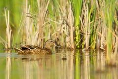 Mallard Anas platyrhynchos. Female Mallard Anas platyrhynchos swimming in a pond in Frankfurt, Germany Stock Images