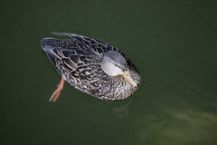 Mallard, Anas platyrhynchos. Female on water Stock Photo