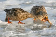 The mallard  Anas platyrhynchos Fighting. The mallard  Anas platyrhynchos Fight for food on the ice of the river Royalty Free Stock Photos