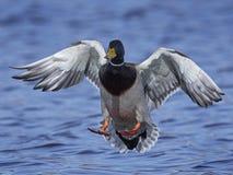 Mallard Anas platyrhynchos. Mallard in flight in its natural habitat in Denmark Royalty Free Stock Image