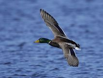 Mallard Anas platyrhynchos. Mallard in flight in its natural habitat in Denmark Royalty Free Stock Photography