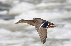 Mallard - Anas platyrhynchos in flight over the Ottawa river. Mallard in flight over the Ottawa river Royalty Free Stock Photography