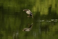Mallard. (Anas platyrhynchos) flying and landing into water Royalty Free Stock Photo