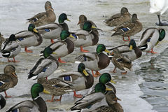 Mallard, Anas platyrhynchos. Group on ice, UK Royalty Free Stock Photography