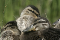 Mallard, Anas platyrhynchos. Group of young ducklings, Midlands Stock Photos