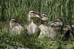 Mallard, Anas platyrhynchos. Group of young ducklings, Midlands Stock Photo