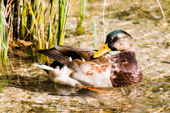 Mallard Anas platyrhynchos. In its natural habitat stock image