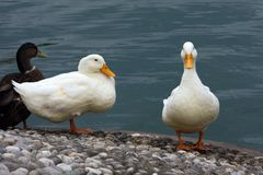 Mallard Anas platyrhynchos. Mallard - Anas platyrhynchos on the lake Lugano Stock Images