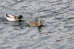 Mallard Anas platyrhynchos. Mallard - Anas platyrhynchos on the lake Lugano Stock Photos