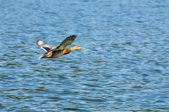 Mallard Anas platyrhynchos. Mallard - Anas platyrhynchos on the lake Lugano Royalty Free Stock Photography