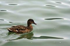 Mallard Anas platyrhynchos. Mallard - Anas platyrhynchos on the lake Lugano Royalty Free Stock Photo