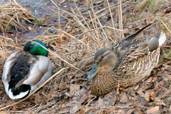 Mallard Anas platyrhynchos male and female. Lying on the grass on the bank of a pond Royalty Free Stock Image
