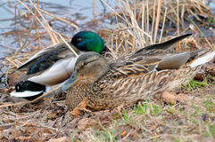 Mallard Anas platyrhynchos male and female. Lying on the grass on the bank of a pond Stock Photos