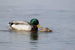 Mallard, Anas platyrhynchos. Male and female mating, Worcestershire, March 2010 Stock Images