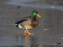Mallard; Anas platyrhynchos. Mallard, Anas platyrhynchos, Male on ice, New York, USA Royalty Free Stock Image