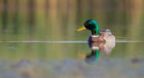 Mallard - Anas platyrhynchos - male. At a wetland in spring, Vilnius county, Lithuania Stock Photography