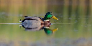 Mallard - Anas platyrhynchos - male. At a wetland in spring, Vilnius county, Lithuania Royalty Free Stock Images