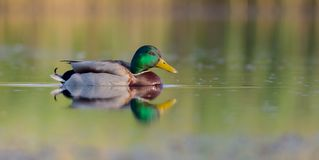 Mallard - Anas platyrhynchos - male. At a wetland in spring, Vilnius county, Lithuania Stock Image