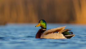 Mallard - Anas platyrhynchos - male. At a small lake in spring Stock Photos