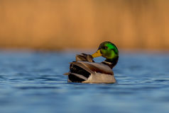 Mallard - Anas platyrhynchos - male. At a small lake in spring Royalty Free Stock Photo