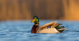 Mallard - Anas platyrhynchos - male. At a small lake in spring Stock Images