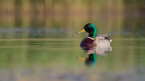 Mallard - Anas platyrhynchos - male. At a wetland in spring, Vilnius county, Lithuania Stock Photo