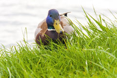 Mallard (Anas platyrhynchos) Royalty Free Stock Photos