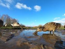 Mallard, Anas platyrhynchos. Single female in water, Gloucestershire, January 2018 Royalty Free Stock Images