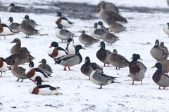 Mallard, Anas platyrhynchos. Mallards, Anas platyrhynchos, Flock on snow, Lancashire, February 2013 Stock Photos