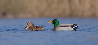 Mallard - Anas platyrhynchos - pair. At a small lake in spring Stock Images