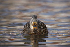 Mallard (Anas platyrhynchos platyrhynchos). Female in perfect breeding plumage swimming on the Harlem Meer in New York's Central Park Royalty Free Stock Image