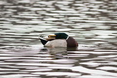 Mallard resting on the water Stock Photography