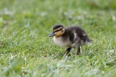 Mallard, Anas platyrhynchos. Single chick on grass, Northumberland, May 2014 Stock Image