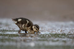 Mallard, Anas platyrhynchos. Single duckling in water, Warwickshire, June 2015 Stock Photography