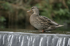 Mallard, Anas platyrhynchos. Single female by water, UK Royalty Free Stock Photography