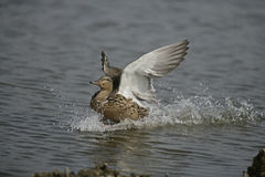 Mallard, Anas platyrhynchos. Single female on water, UK Stock Photos