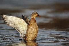 Mallard, Anas platyrhynchos Royalty Free Stock Photography