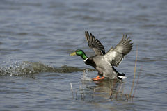 Mallard, Anas platyrhynchos. Single male in flight, Midlands Royalty Free Stock Photo