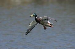 Mallard,  Anas platyrhynchos,. Single male in flight,UK Royalty Free Stock Images