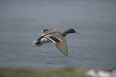 Mallard, Anas platyrhynchos. Single male in flight, UK Royalty Free Stock Image