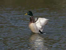Mallard,  Anas platyrhynchos,. Single male on water,UK Royalty Free Stock Photos