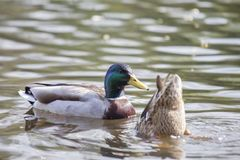 Mallard Anas platyrhynchos. Spotted outdoors in Dublin, Ireland Royalty Free Stock Images