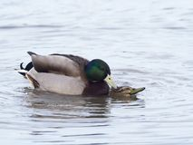 Mallard, Anas platyrhynchos. Two birds mating, Gloucestershire, January 2018 Stock Photography
