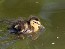 Mallard - Anas platyrhynchos. Very young and very cute mallard duckling Stock Photography