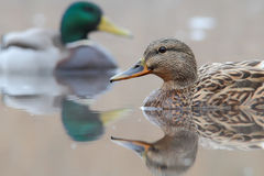 Mallard. Anas platyrhynchos. Royalty Free Stock Photos