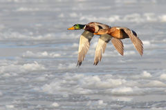 Mallard. Anas platyrhynchos. Stock Photos