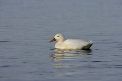 Mallard, Anas platyrhynchos. White albino on water, UK Stock Image