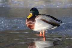 Mallard Anas platyrhynchos. The mallard or wild duck Anas platyrhynchos is a dabbling duck which breeds throughout the temperate and subtropical Americas Royalty Free Stock Photography